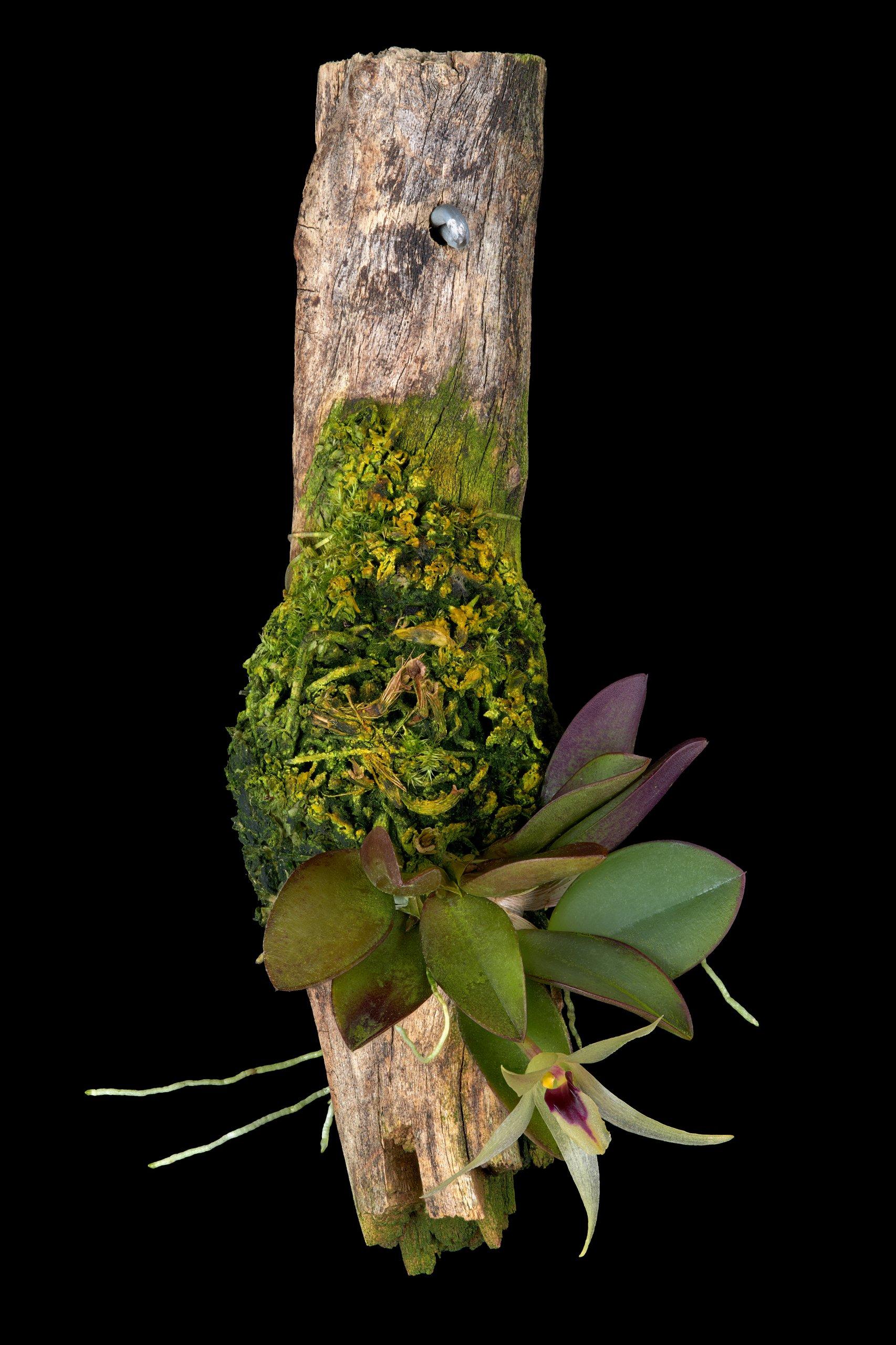 Octomeria estrellensis.jpg