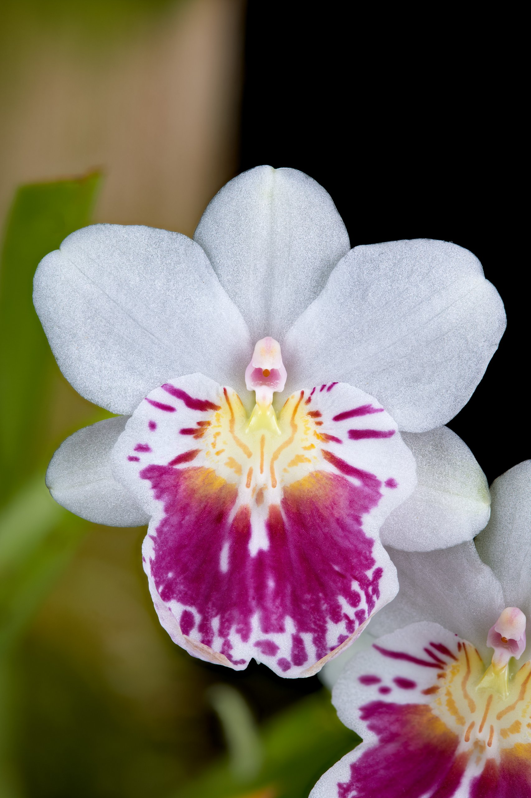 Miltoniopsis phalaenopsis flower.jpg