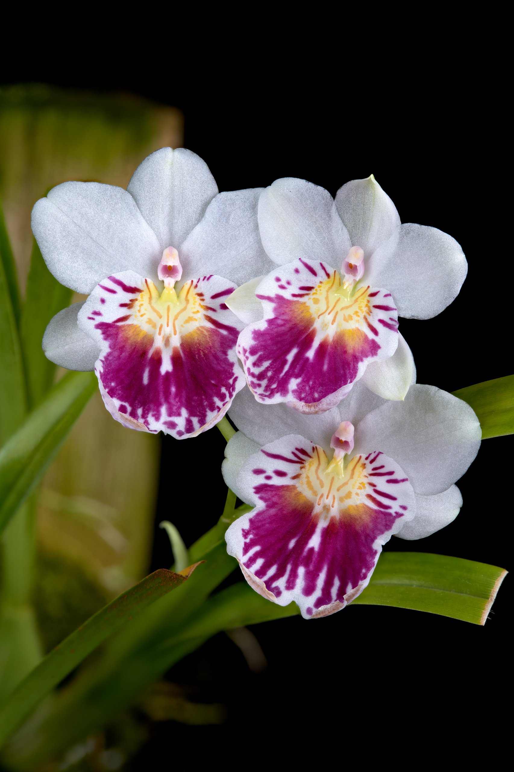 Miltoniopsis phalaenopsis flowers.jpg