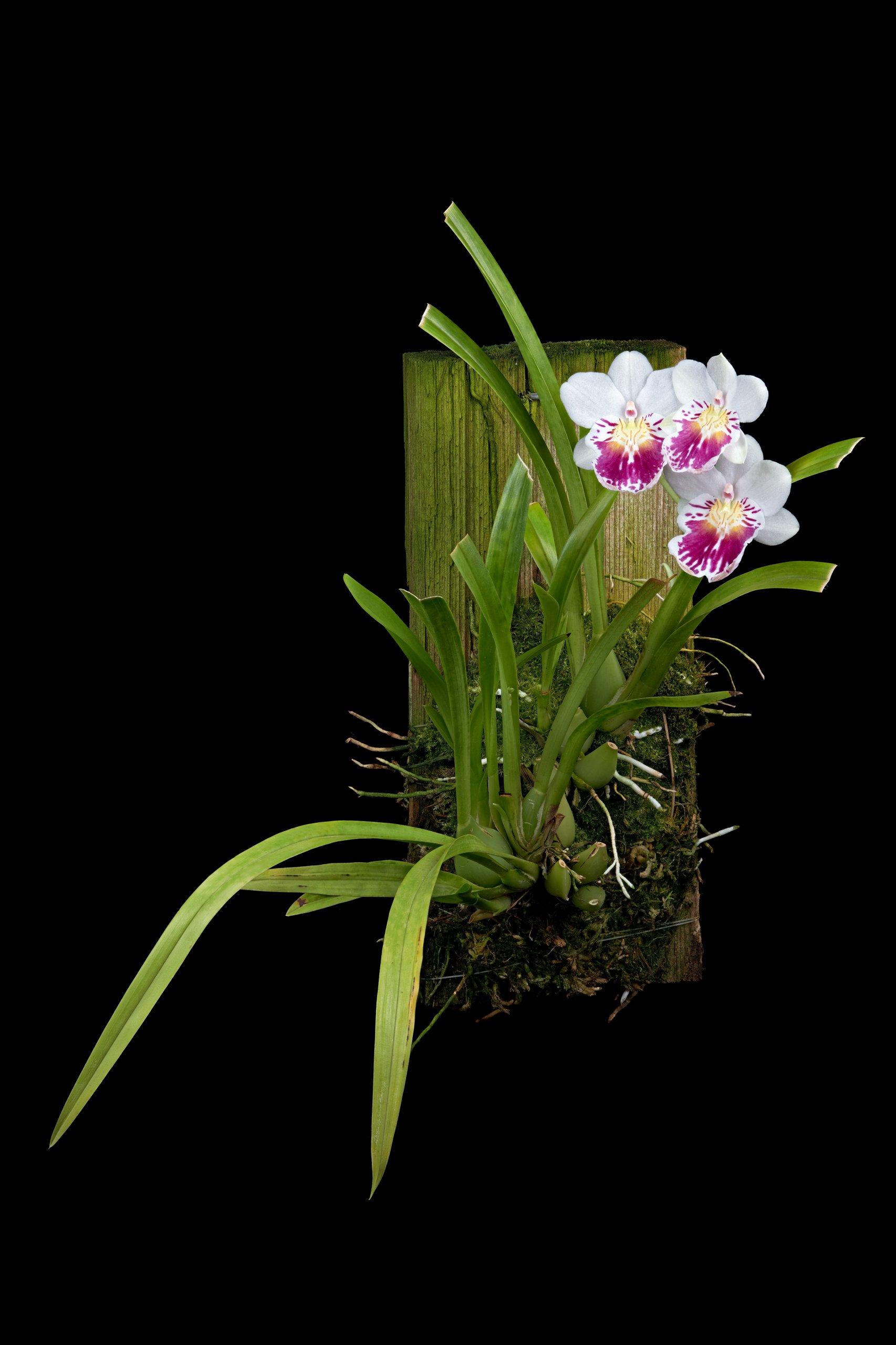 Miltoniopsis phalaenopsis.jpg