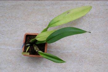 Trichopilia marginata - 001 - 02.06.2019.JPG