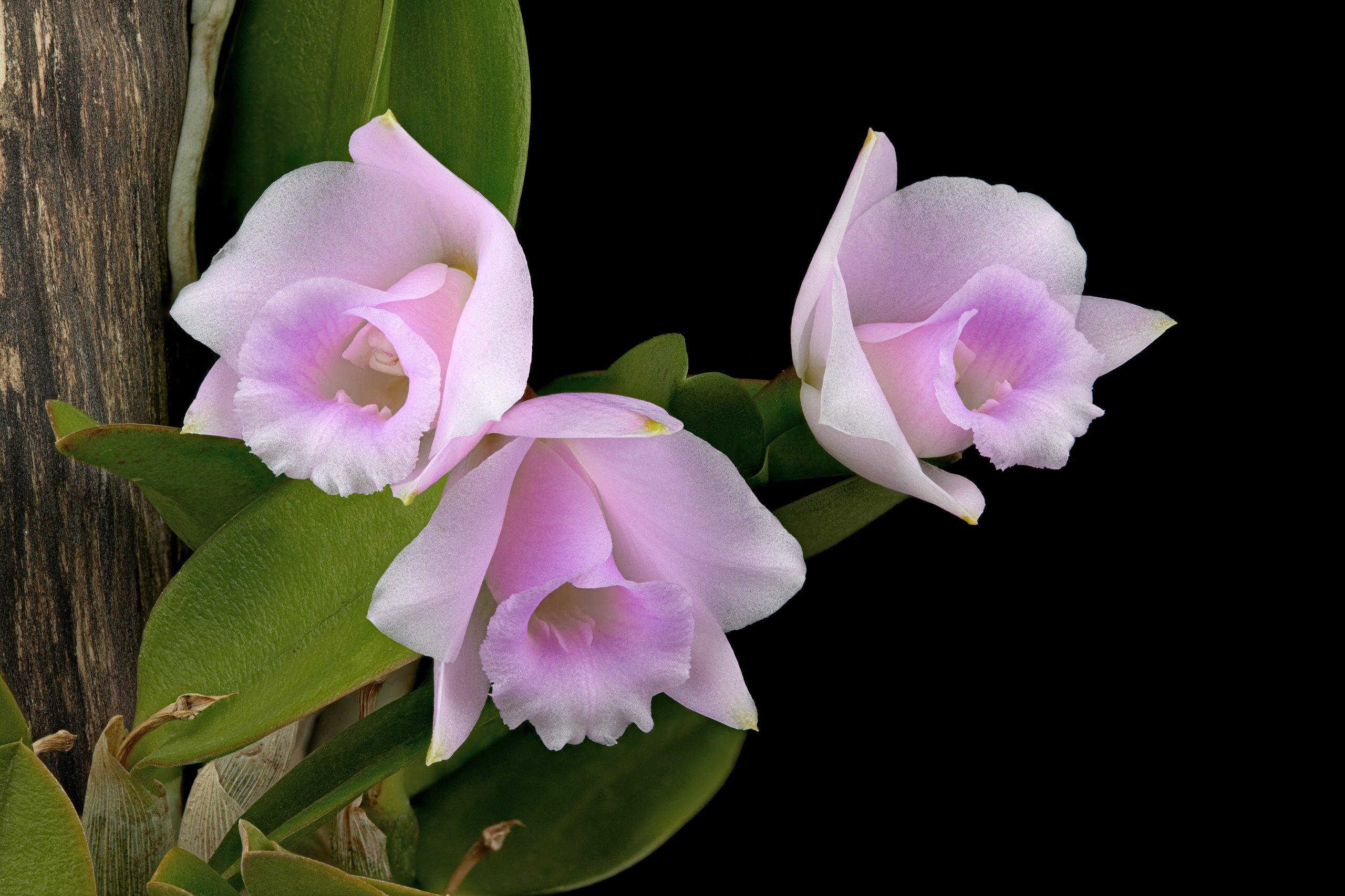 Laelia alaorii flowers 01_06.06.19.jpg