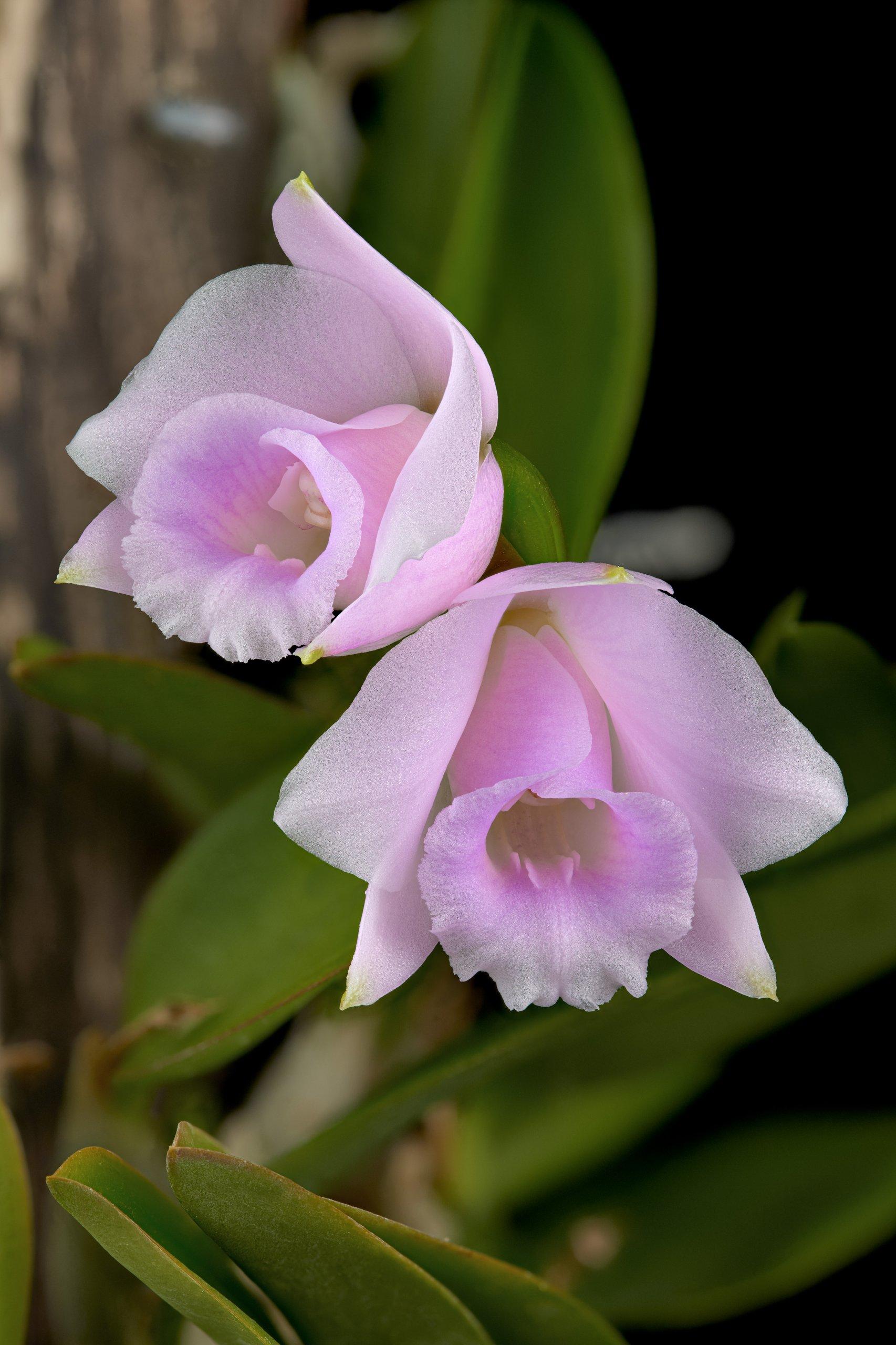 Laelia alaorii flowers 02_06.06.19.jpg