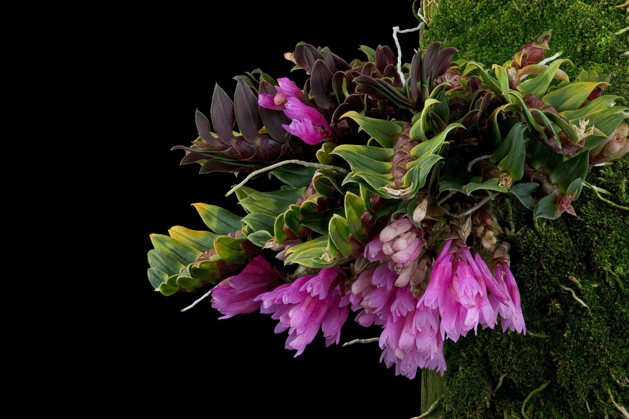 Dendrobium limpidum flowers 01.jpg