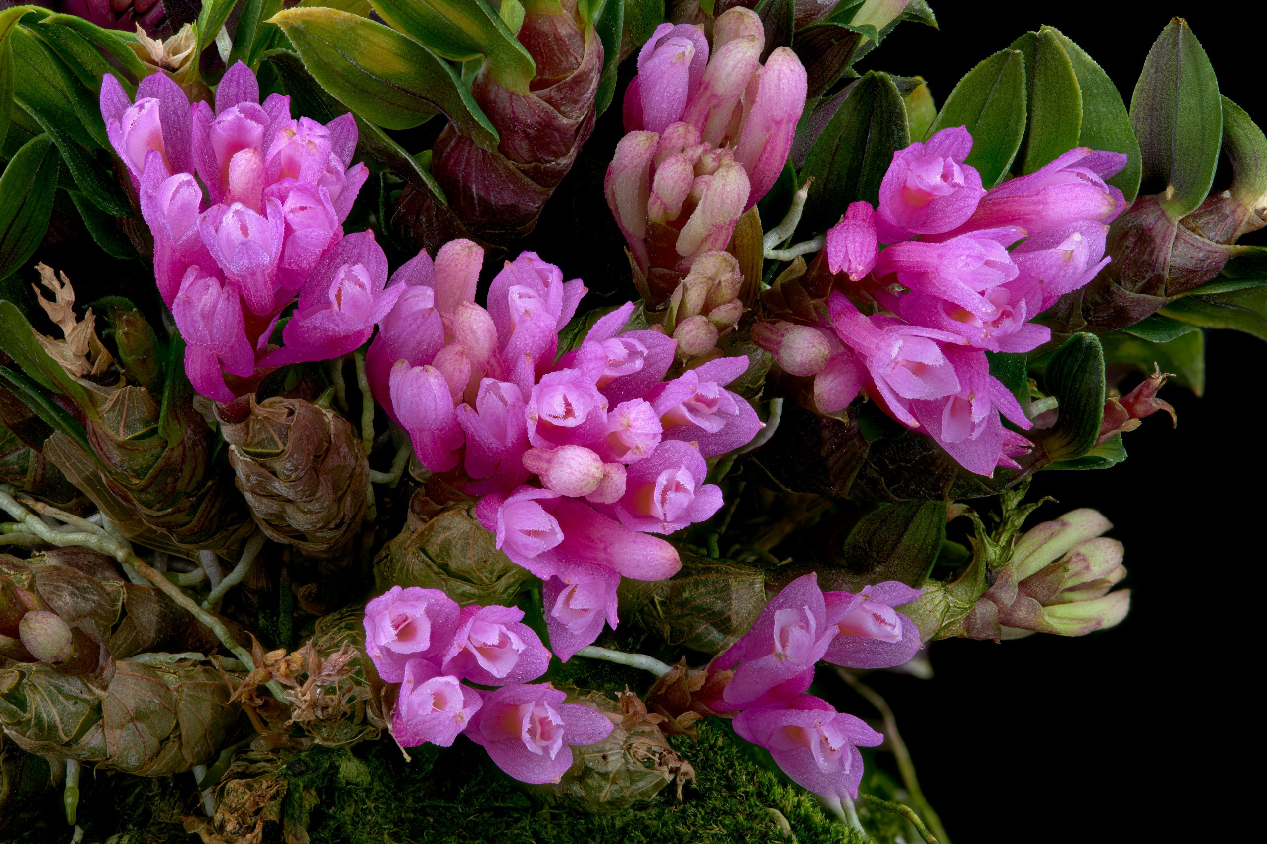 Dendrobium limpidum flowers 02.jpg