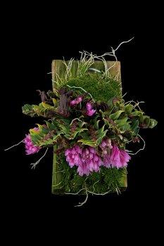 Dendrobium limpidum.jpg