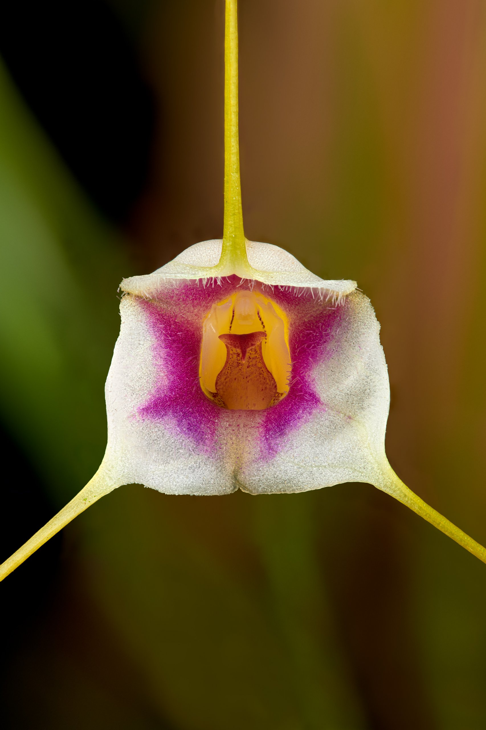 Masdevallia exquisita closeup.jpg