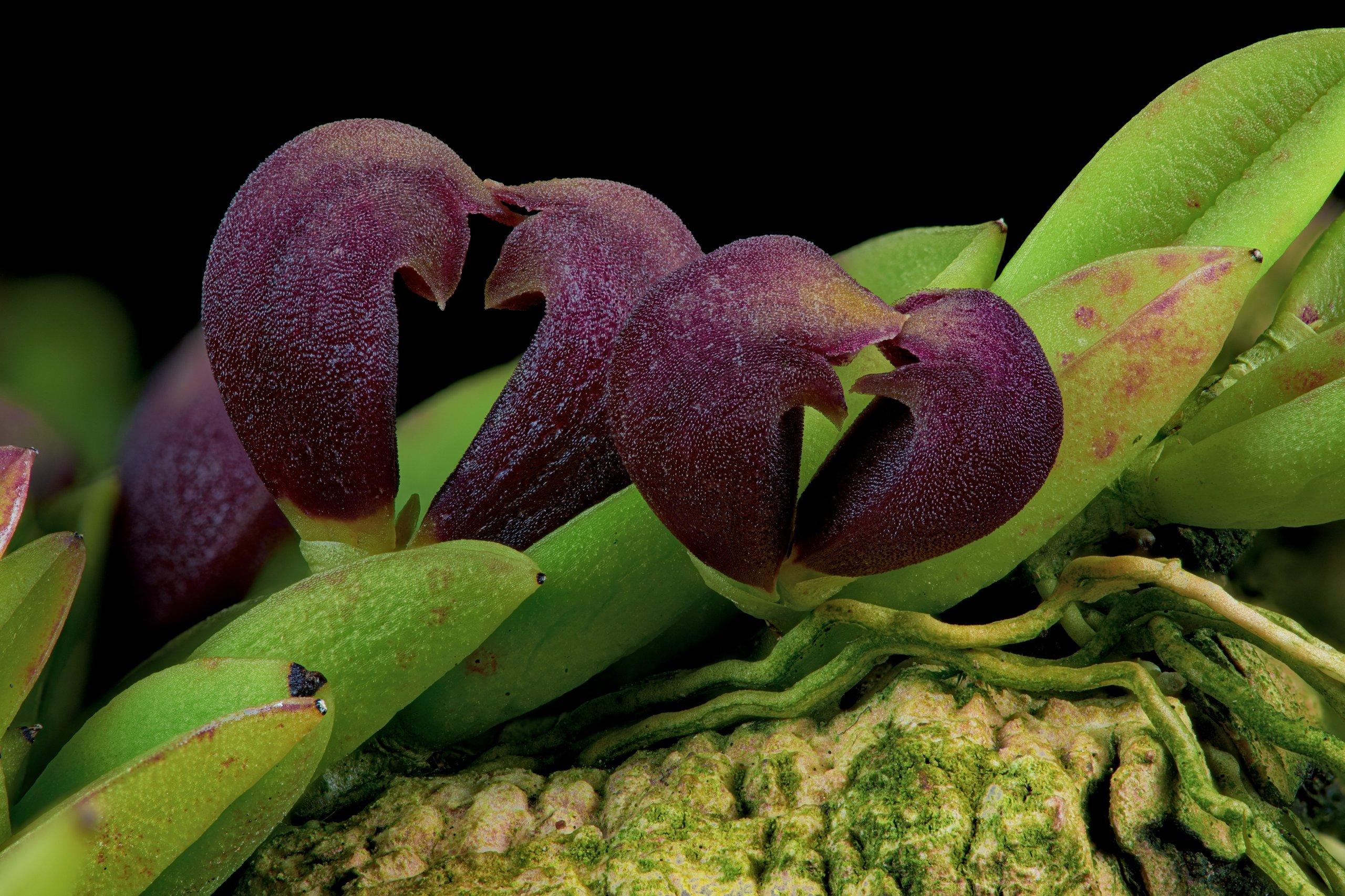 Pleurothallis sarracenia closeup.jpg