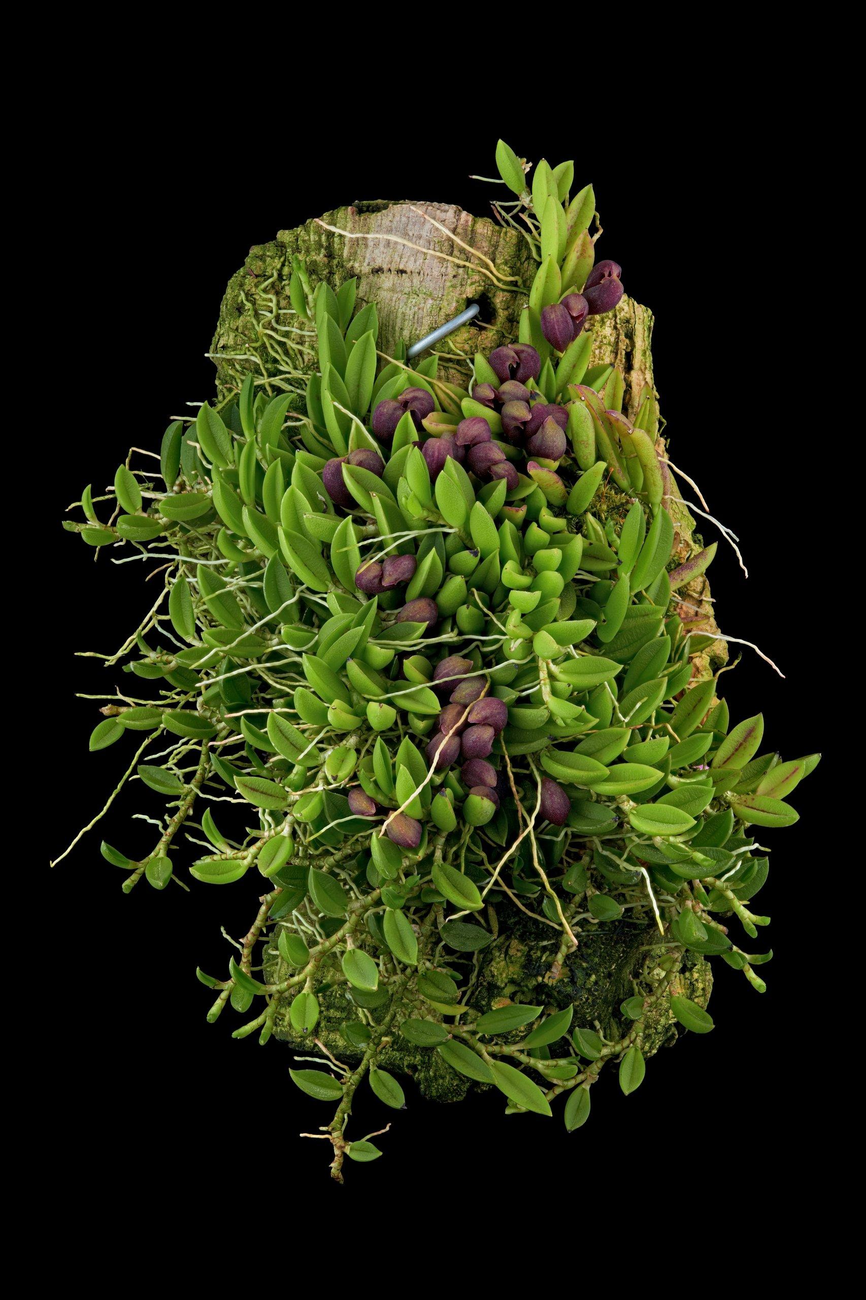 Pleurothallis sarracenia.jpg