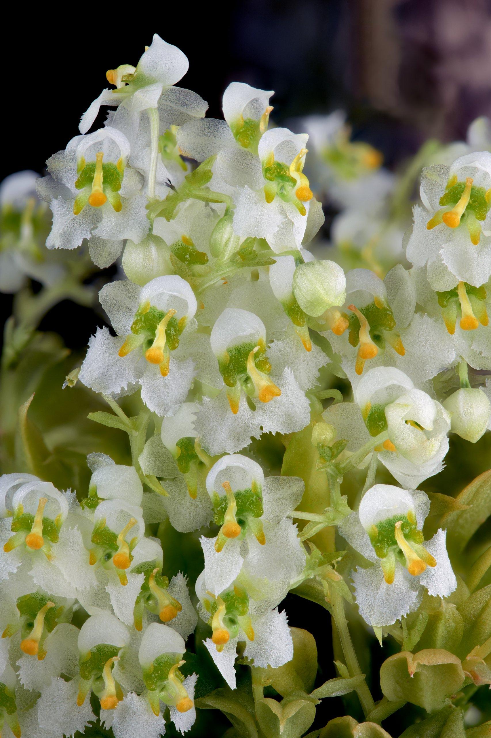 Zygostates alleniana flowers.jpg