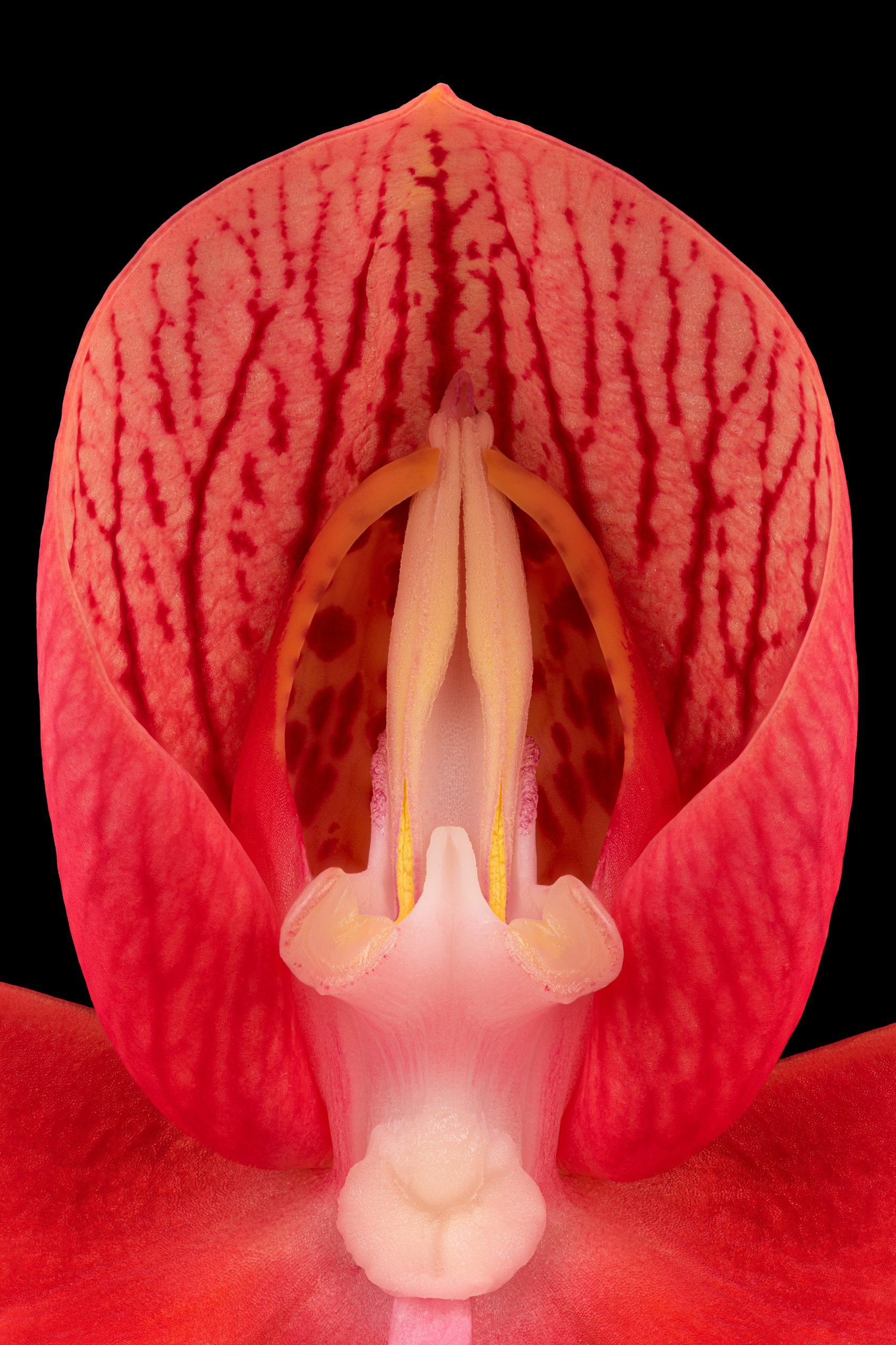 Disa uniflora 'Rose Red' closeup.jpg