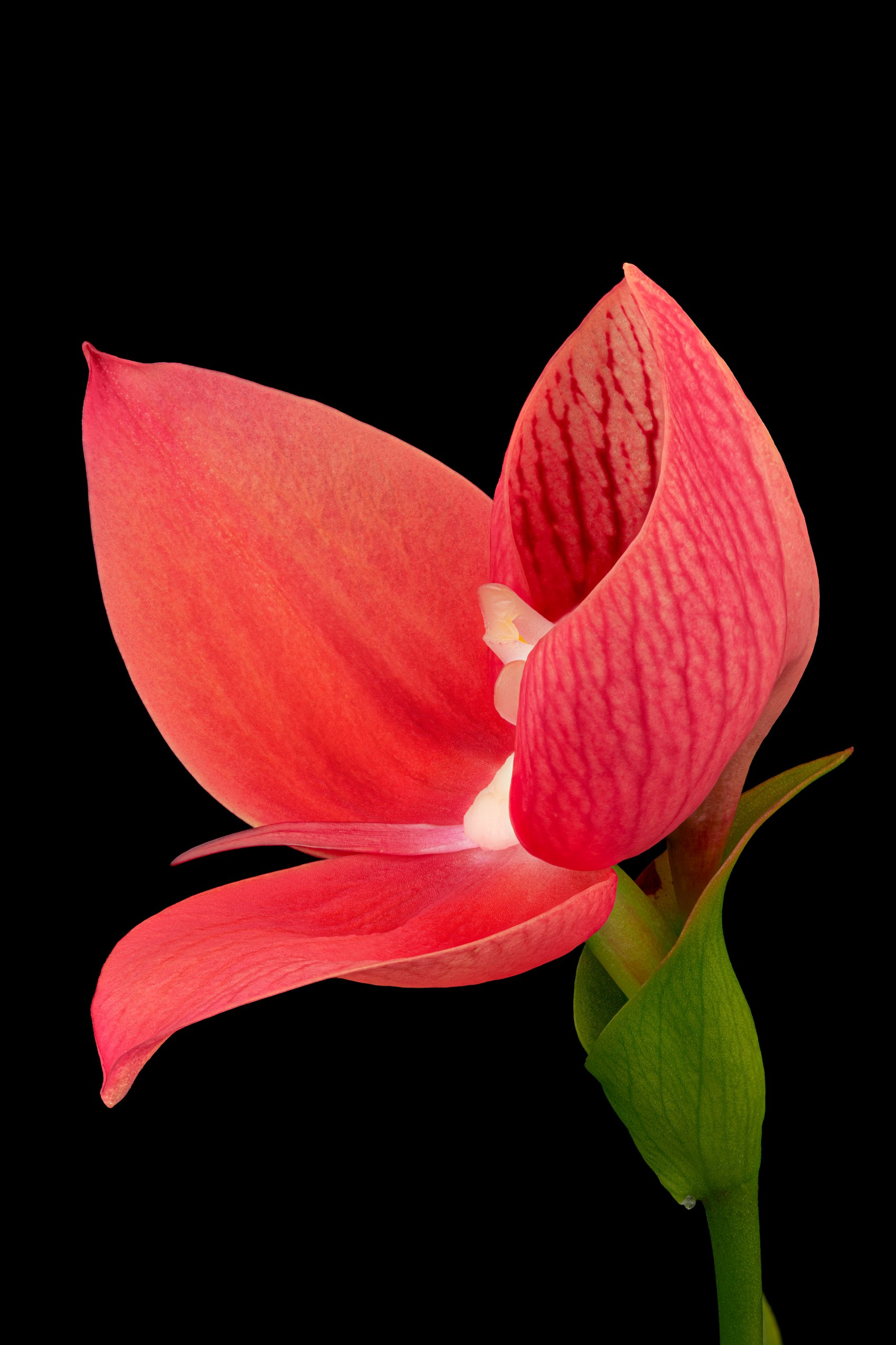 Disa uniflora 'Rose Red' flower (side).jpg