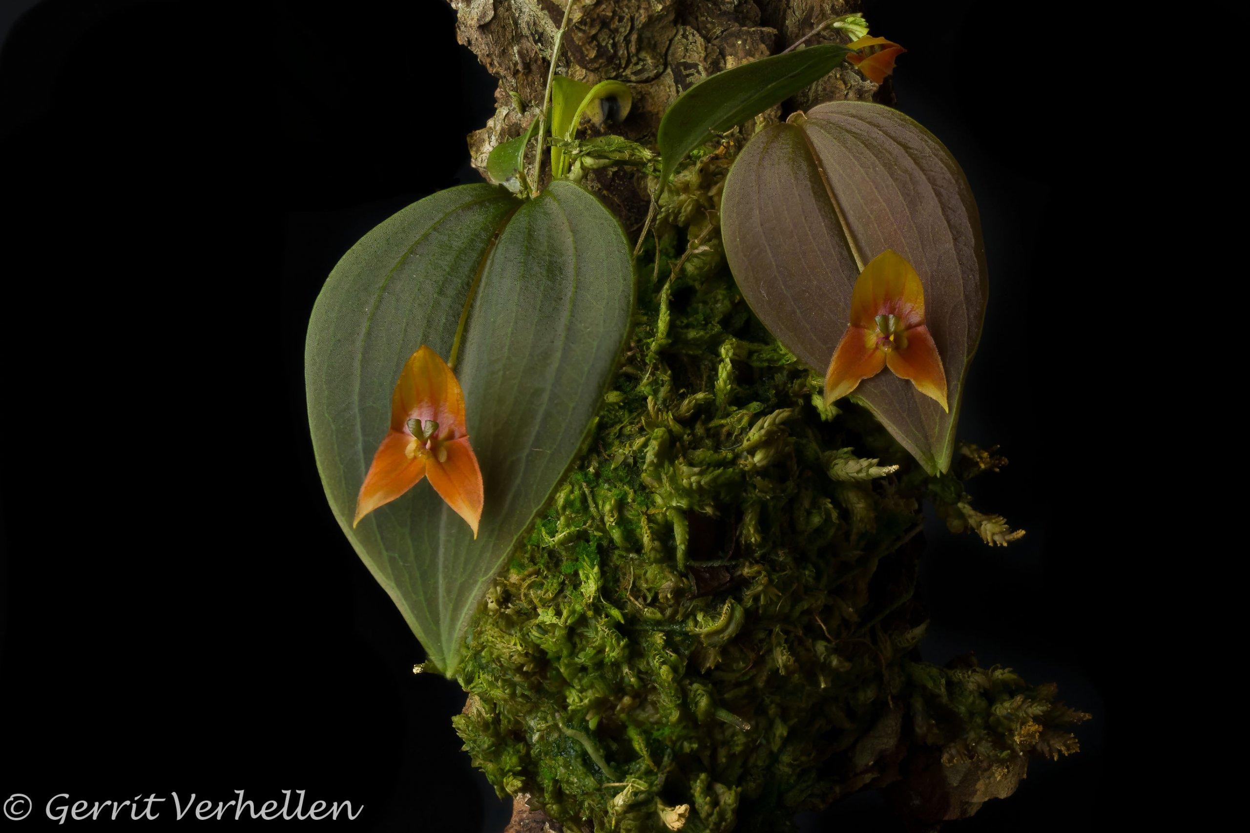 Lepanthes niesseniae -190806-.jpg
