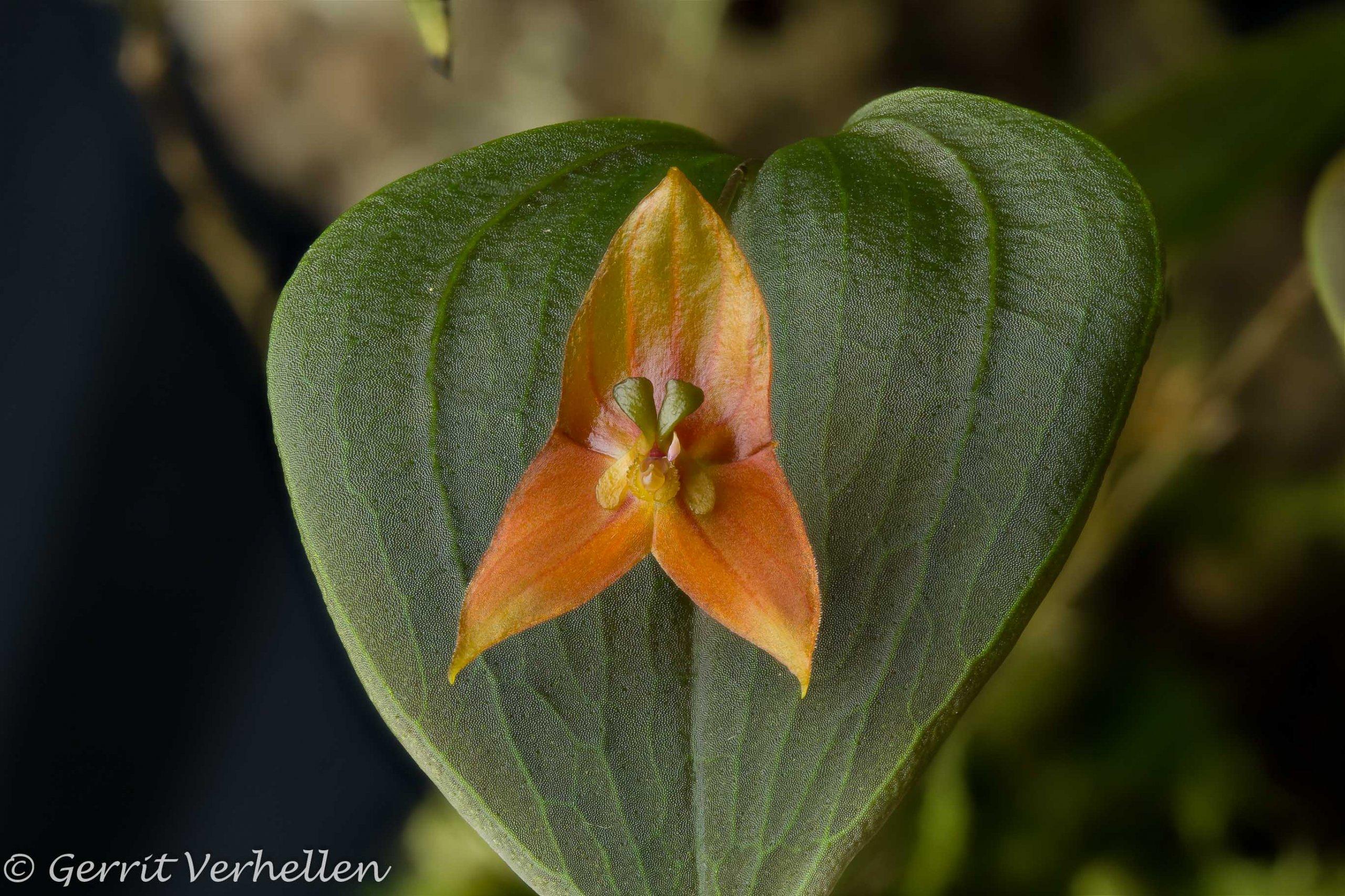 Lepanthes niesseniae -190806--3.jpg