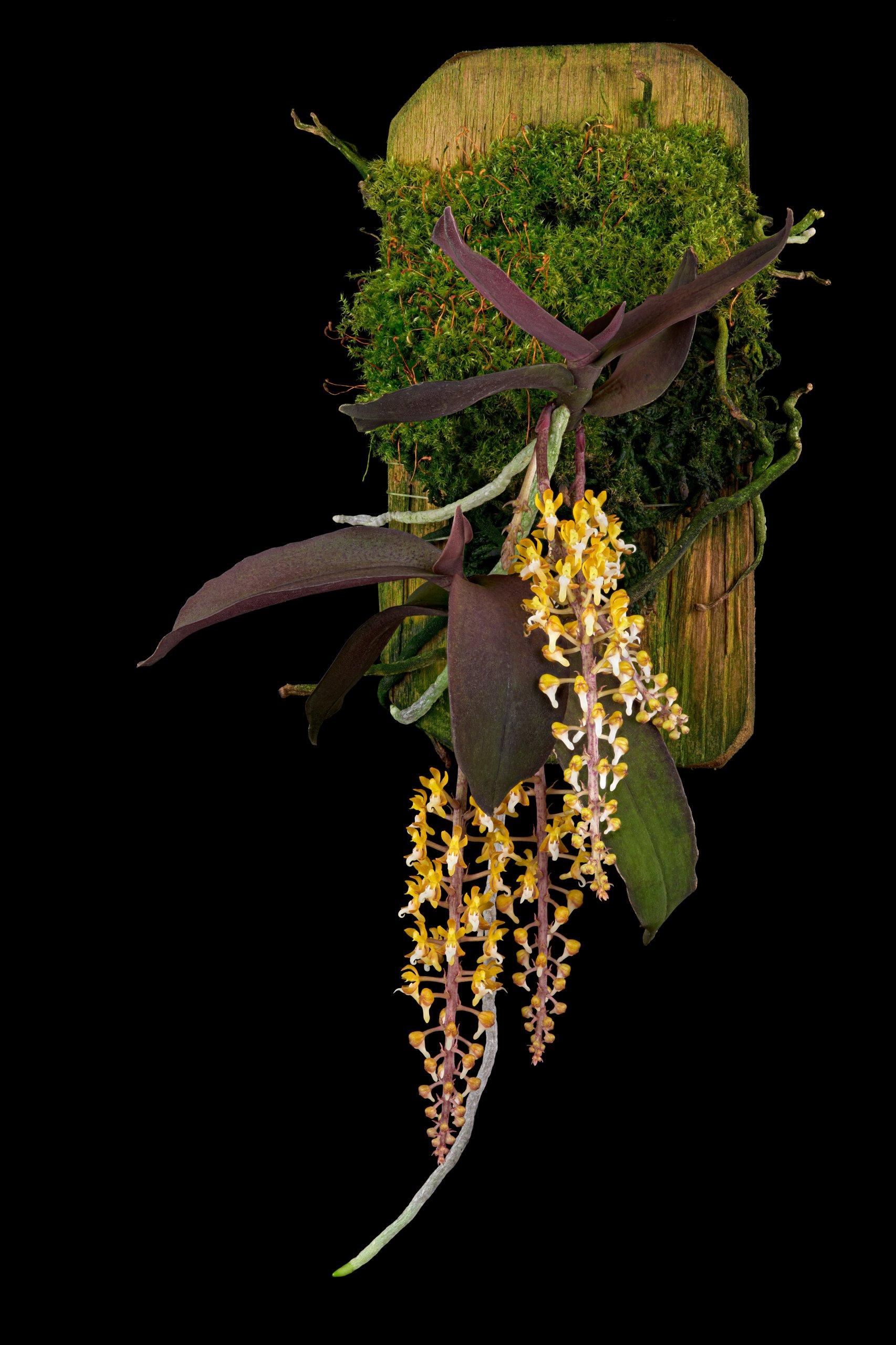 Malleola baliensis.jpg