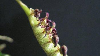 Bulbophyllum scaberulum6.JPG