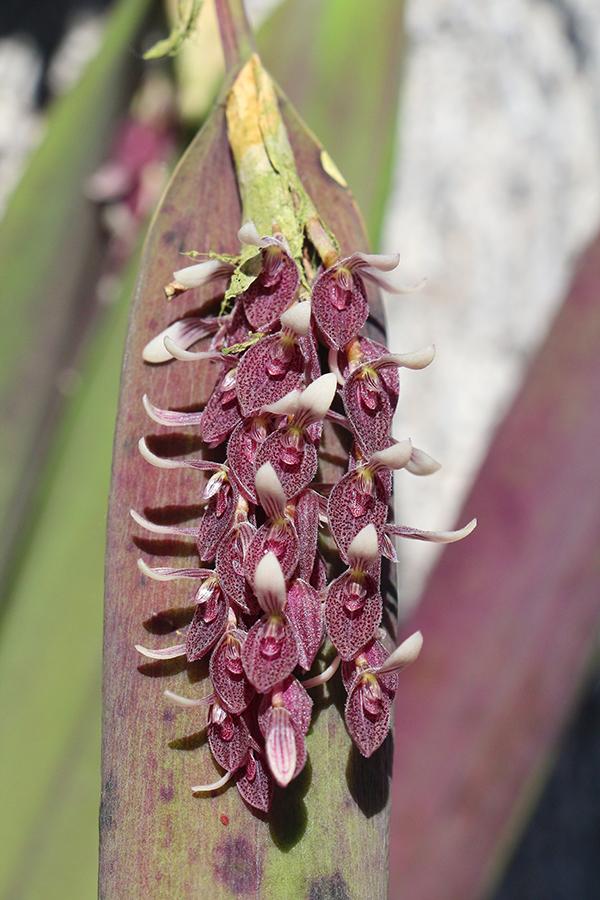 Acianthera strupifolia inflorescence-900.jpg