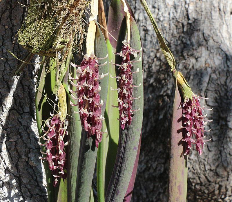 Acianthera strupifolia group-800.jpg