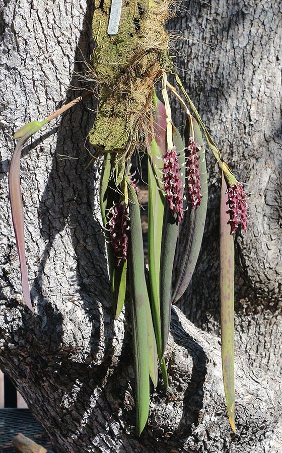 Acianthera strupifolia plant-900.jpg