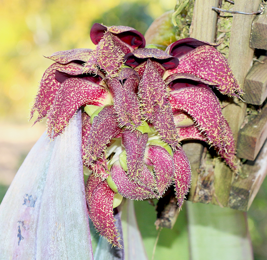 Bulbophyllum phalaenopsis flower2-900.jpg