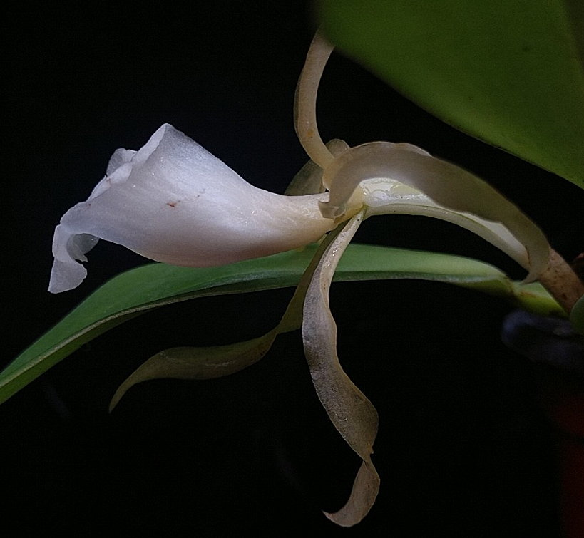 maculataside1119.jpg