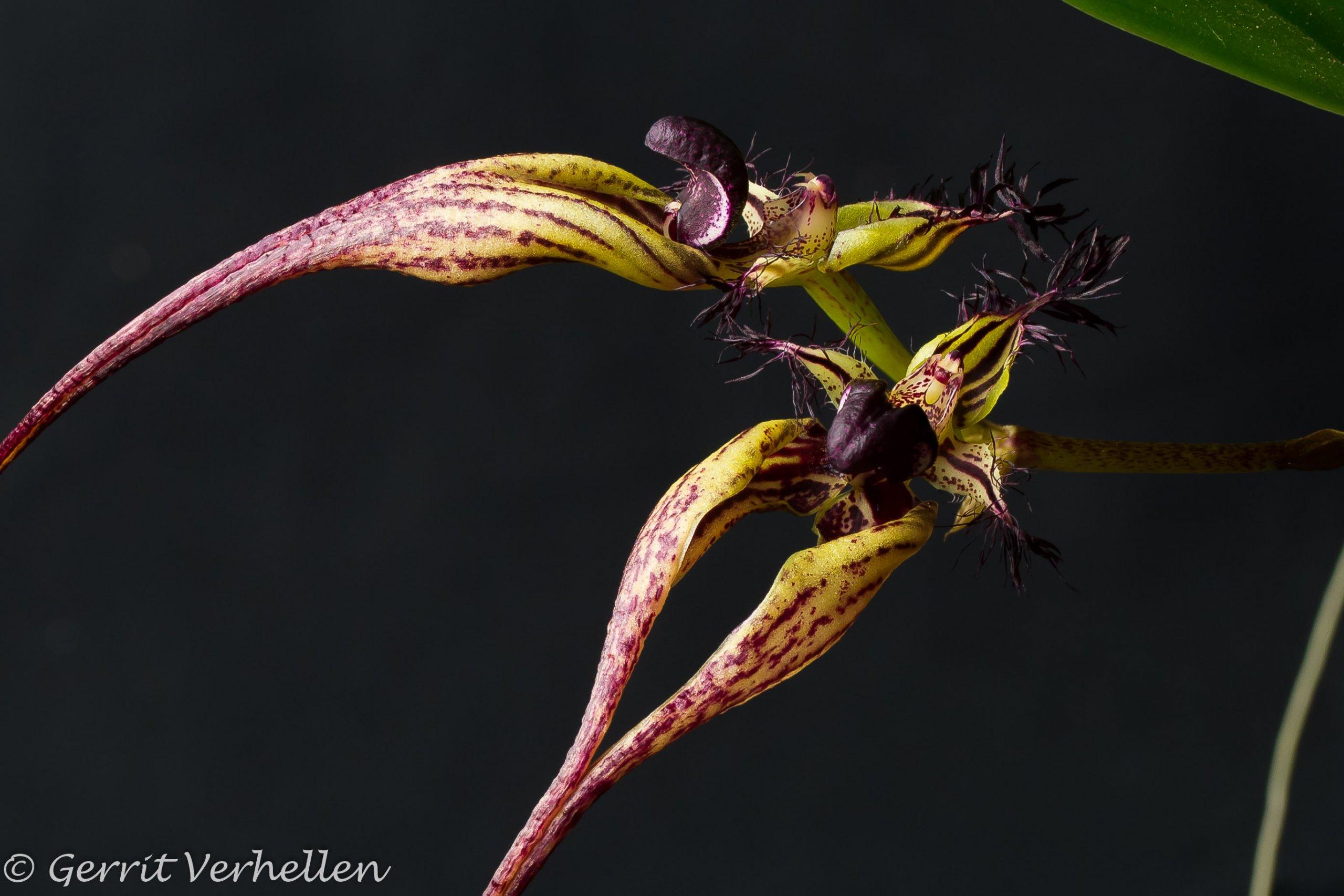 Bulbophyllum-181221-.jpg