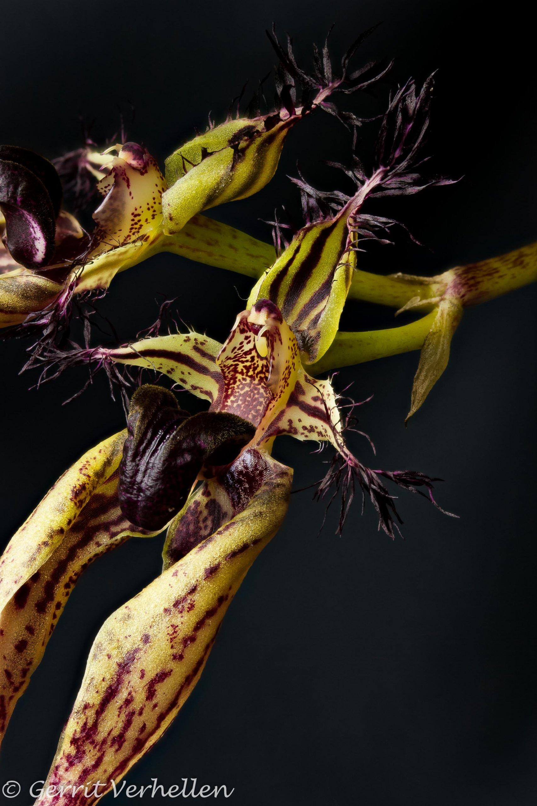Bulbophyllum-181221--2.jpg