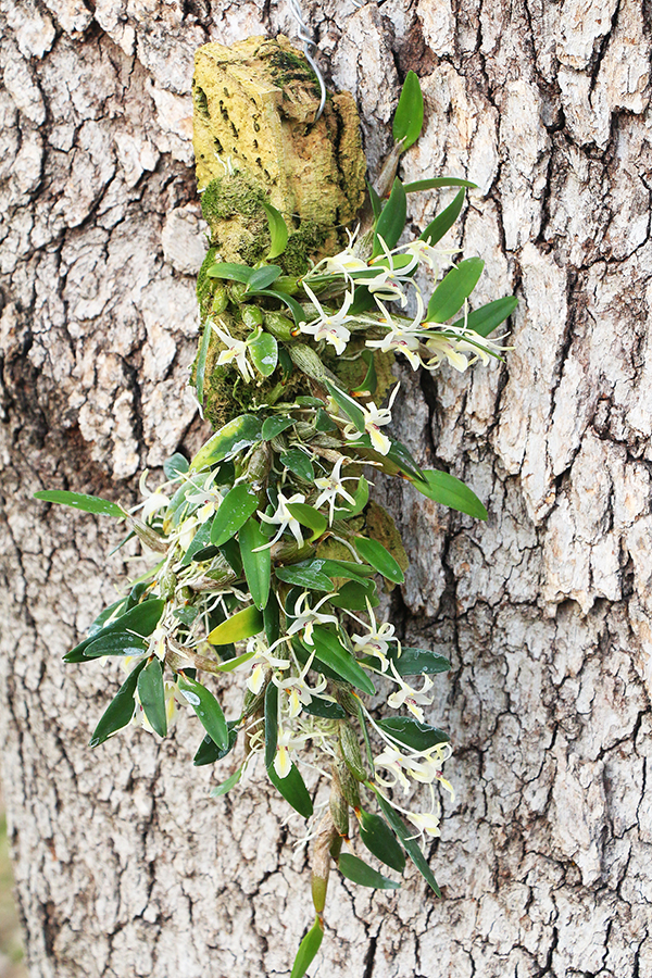 Diplocaulobium kirchianum plant-900.jpg