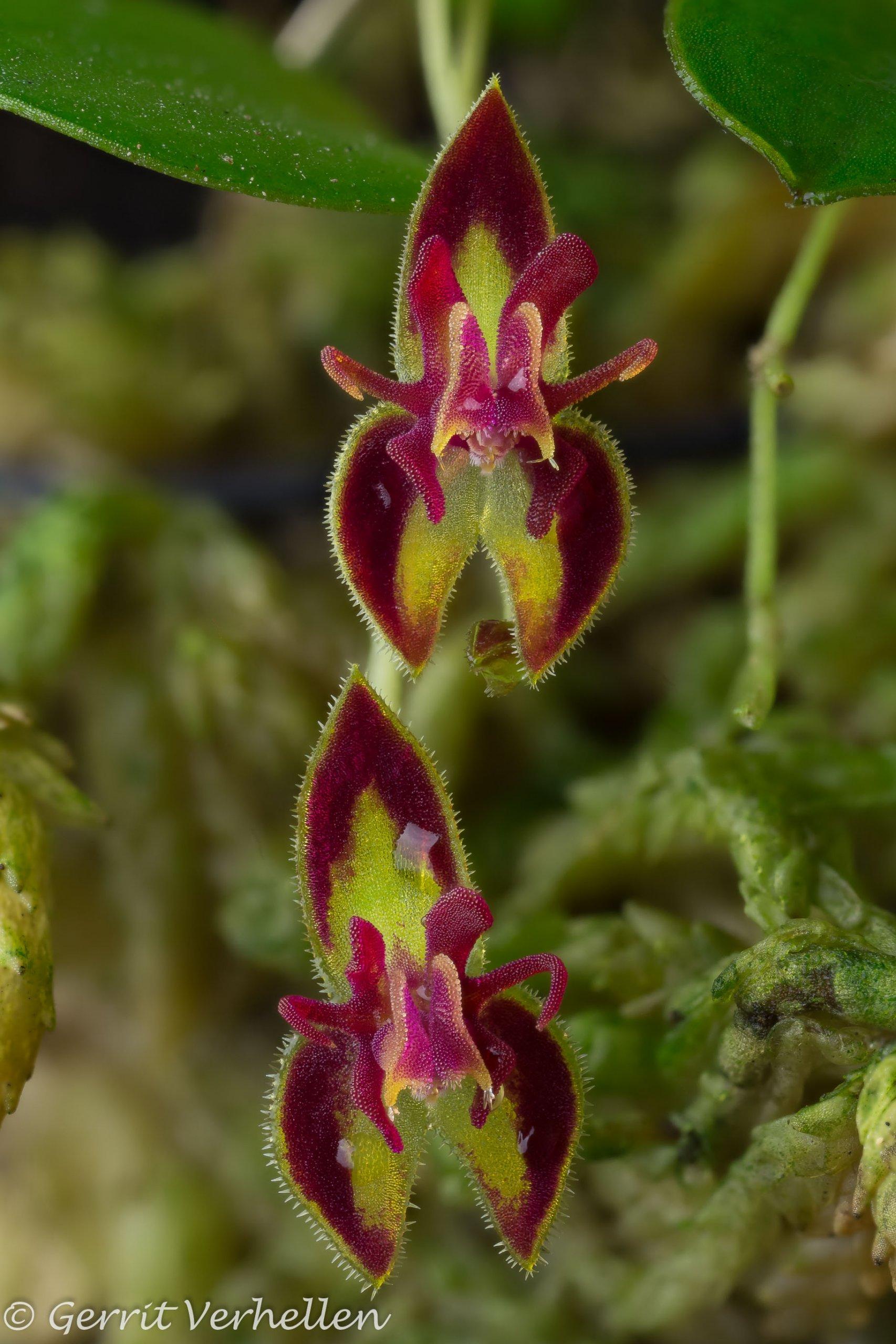 Lepanthes species-200119--4.jpg