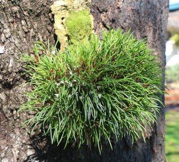 Ceratostylis philippinensis plant-900.jpg