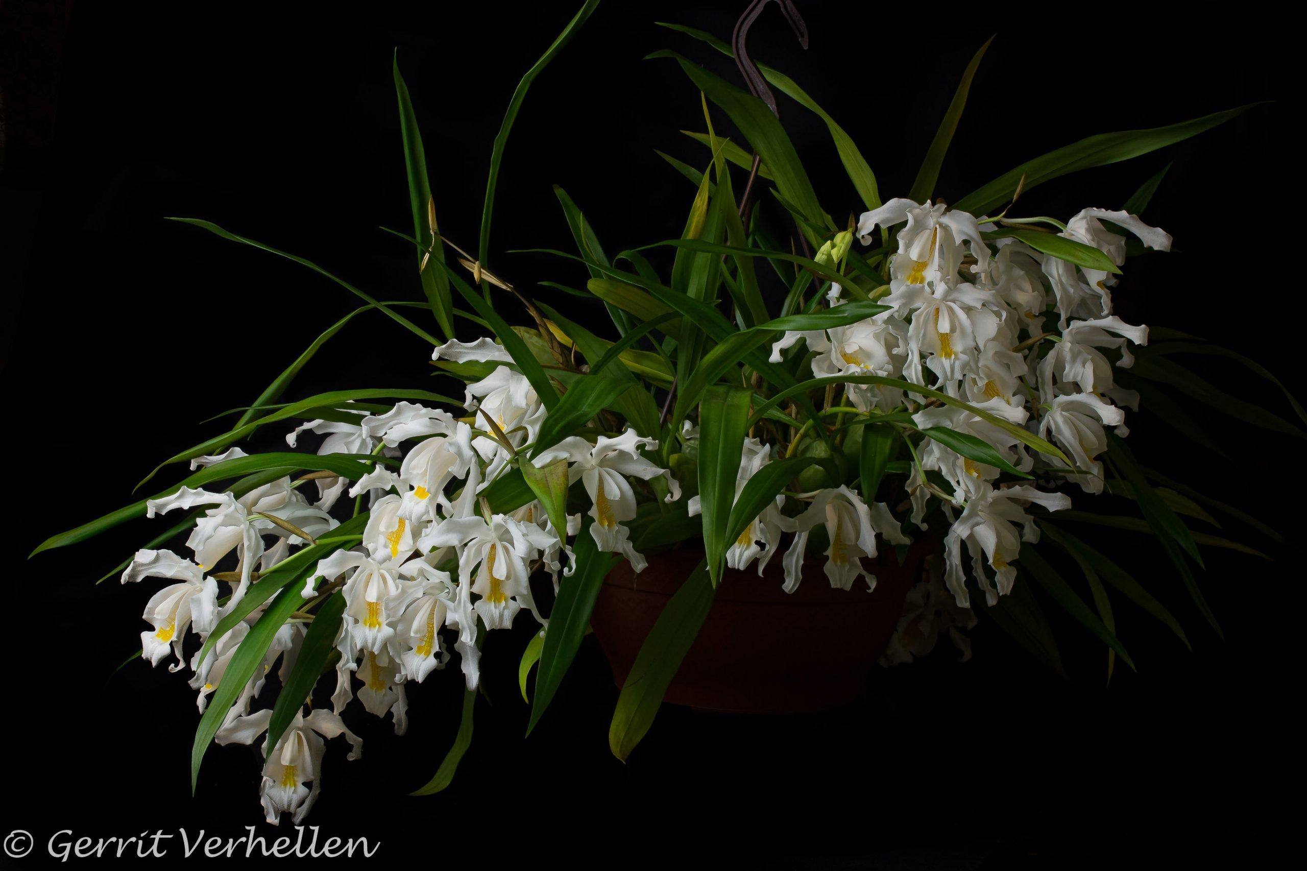 Coelogyne cristata-200204-.jpg