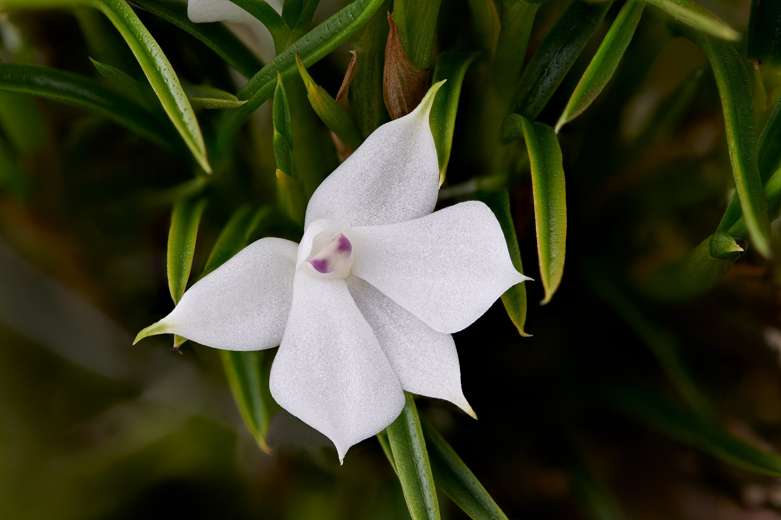 Dendrobium subuliferum flower.jpg