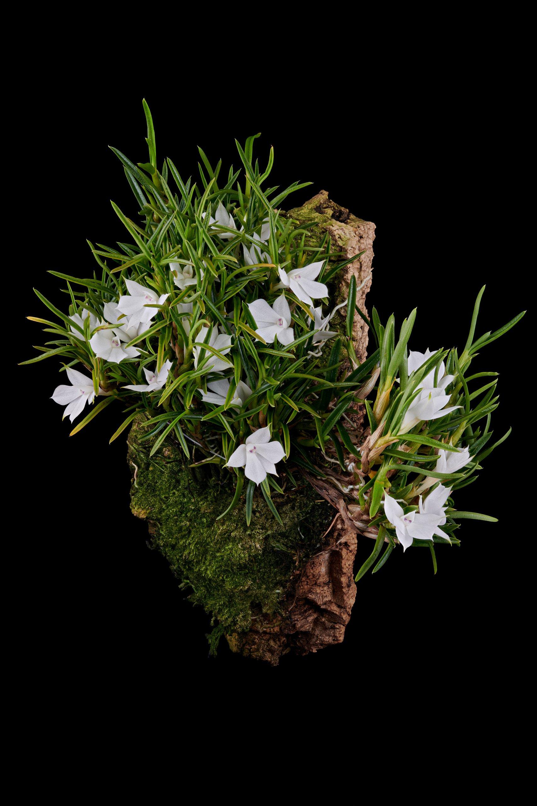 Dendrobium subuliferum.jpg
