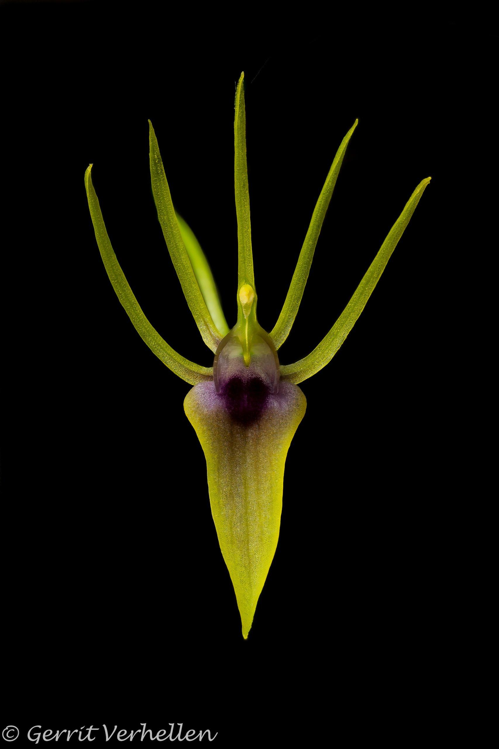 Hofmeisterella eumicroscopica-200213-.jpg