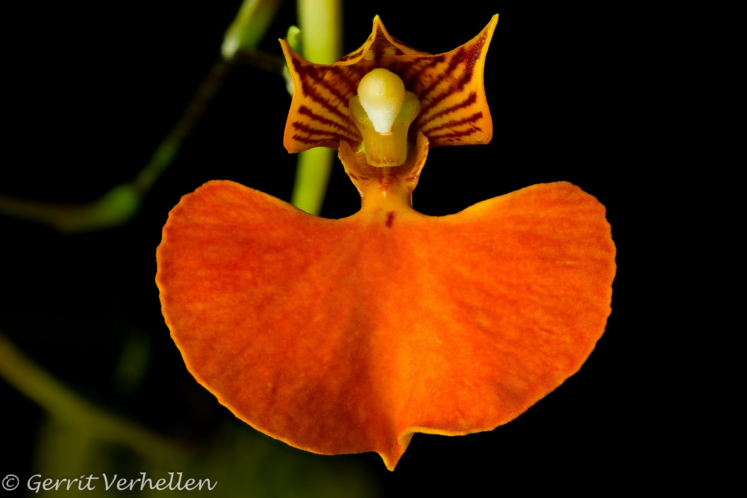 Comparettia speciosa-190930--2.jpg