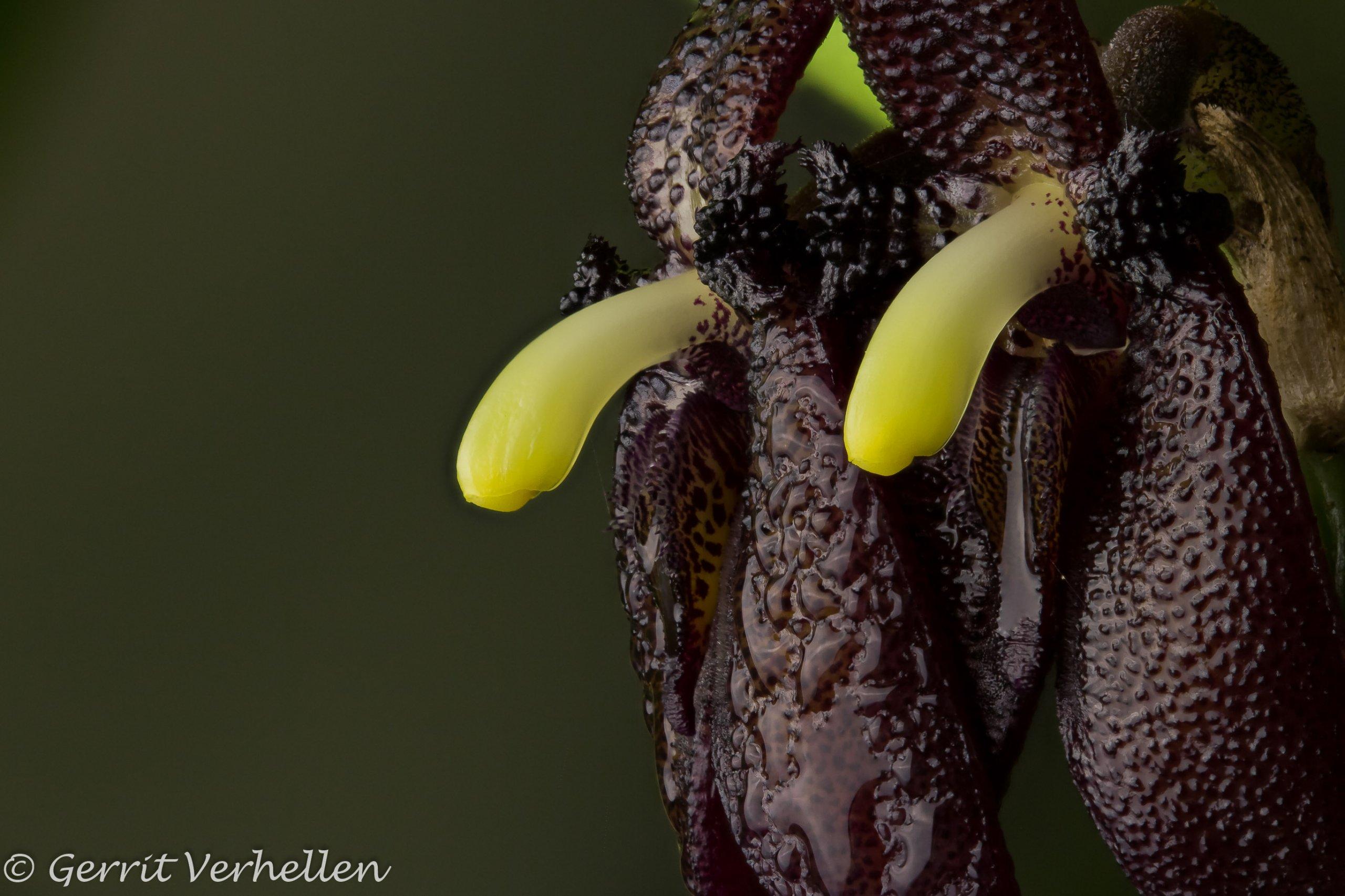 Myoxanthus serripetalus-200210--8.jpg