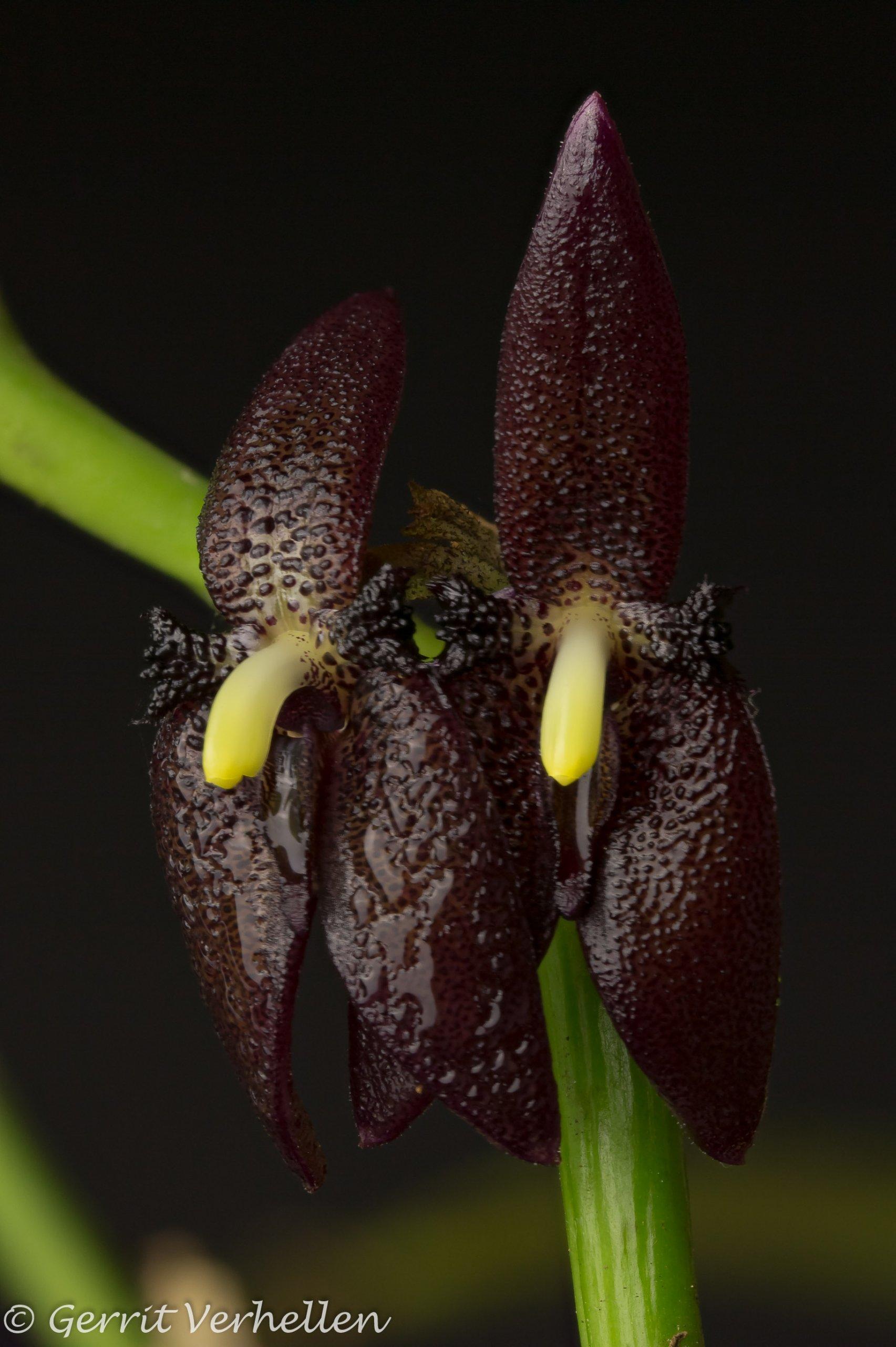 Myoxanthus serripetalus-200210--10.jpg