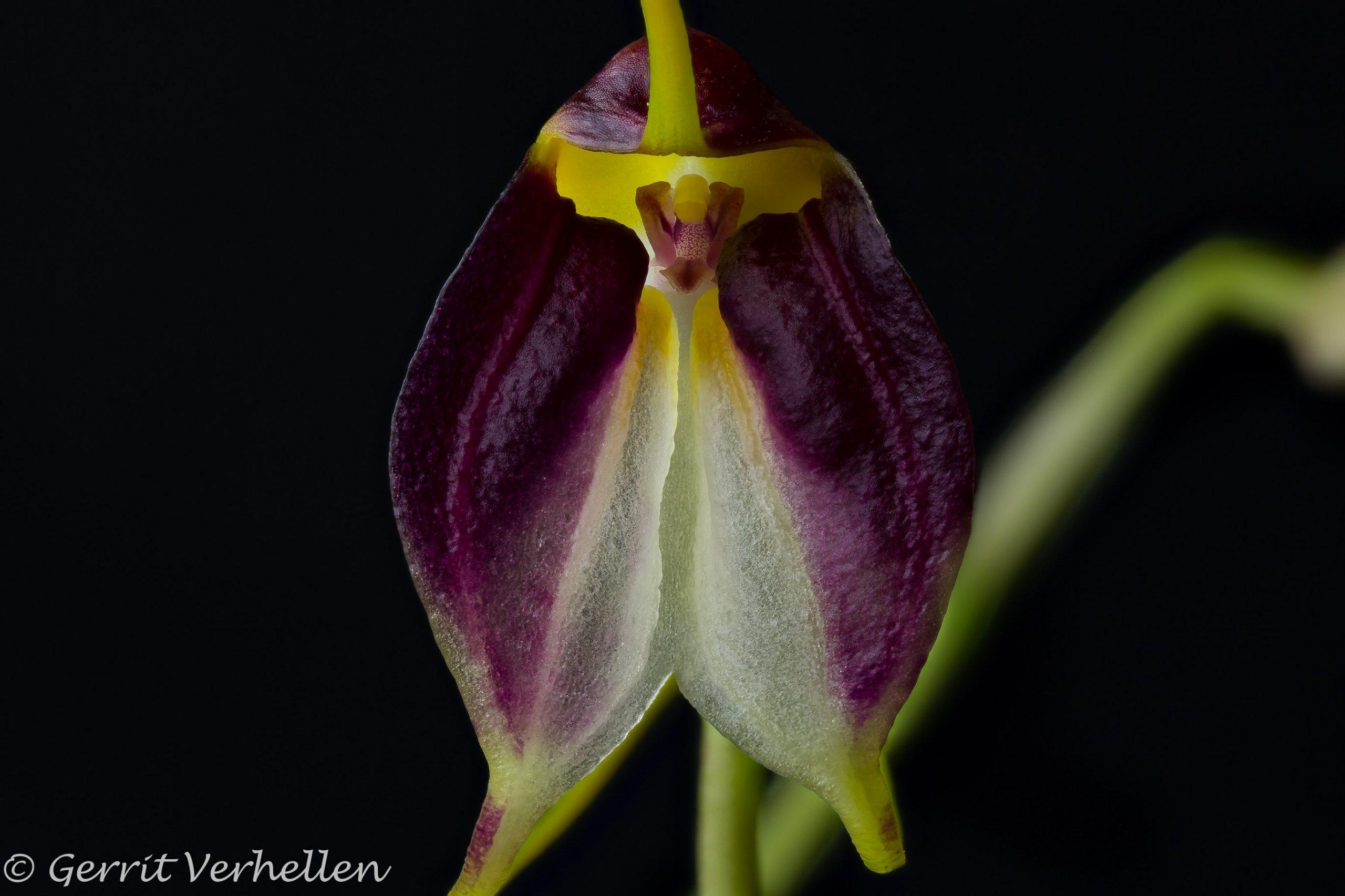 Masdevallia schroederiana-200217--6.jpg