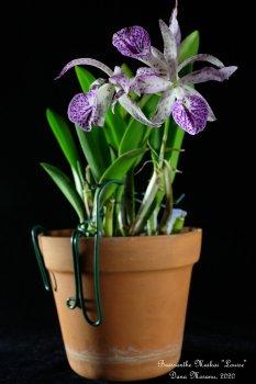 Brassanthe Maikai 'Louise' - 001 - 26.01.2020.JPG