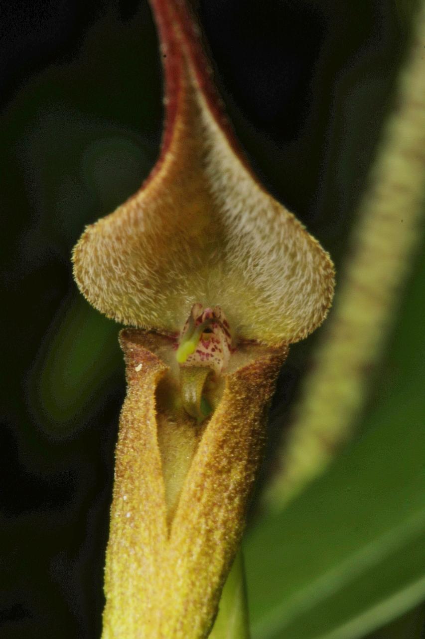 Bulbophyllum urosepalum PNG 022 (853x1280).jpg