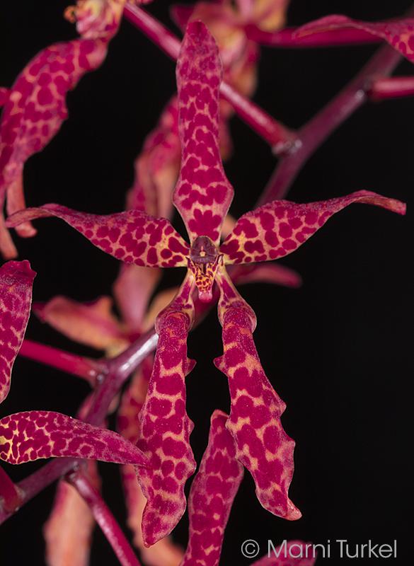 renanthera bella. close.jpg