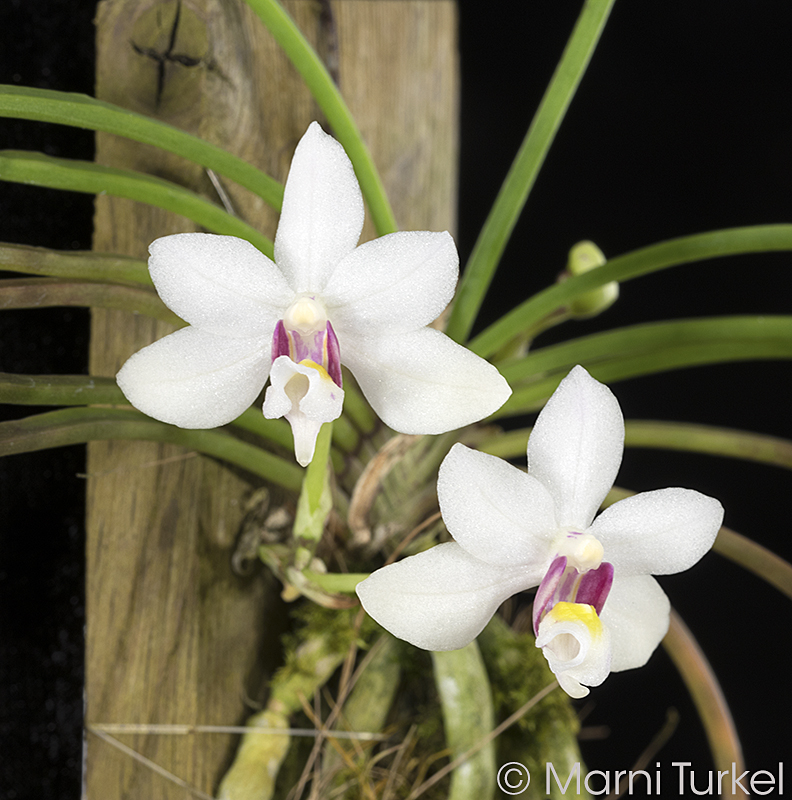 Holcoglossum nujiangense.2fl.0580.jpg