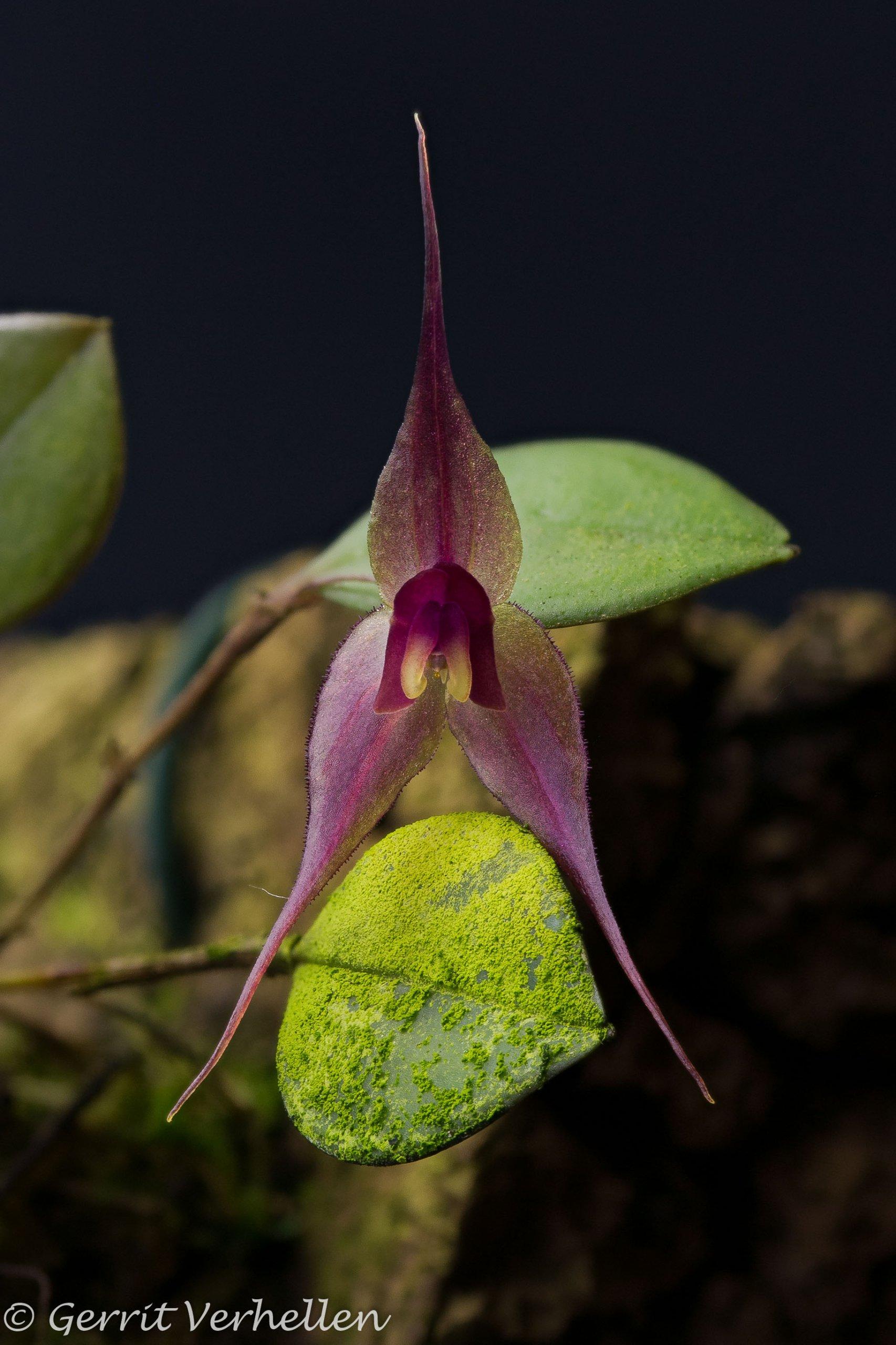 Lepanthes grandiflora-200325-.jpg