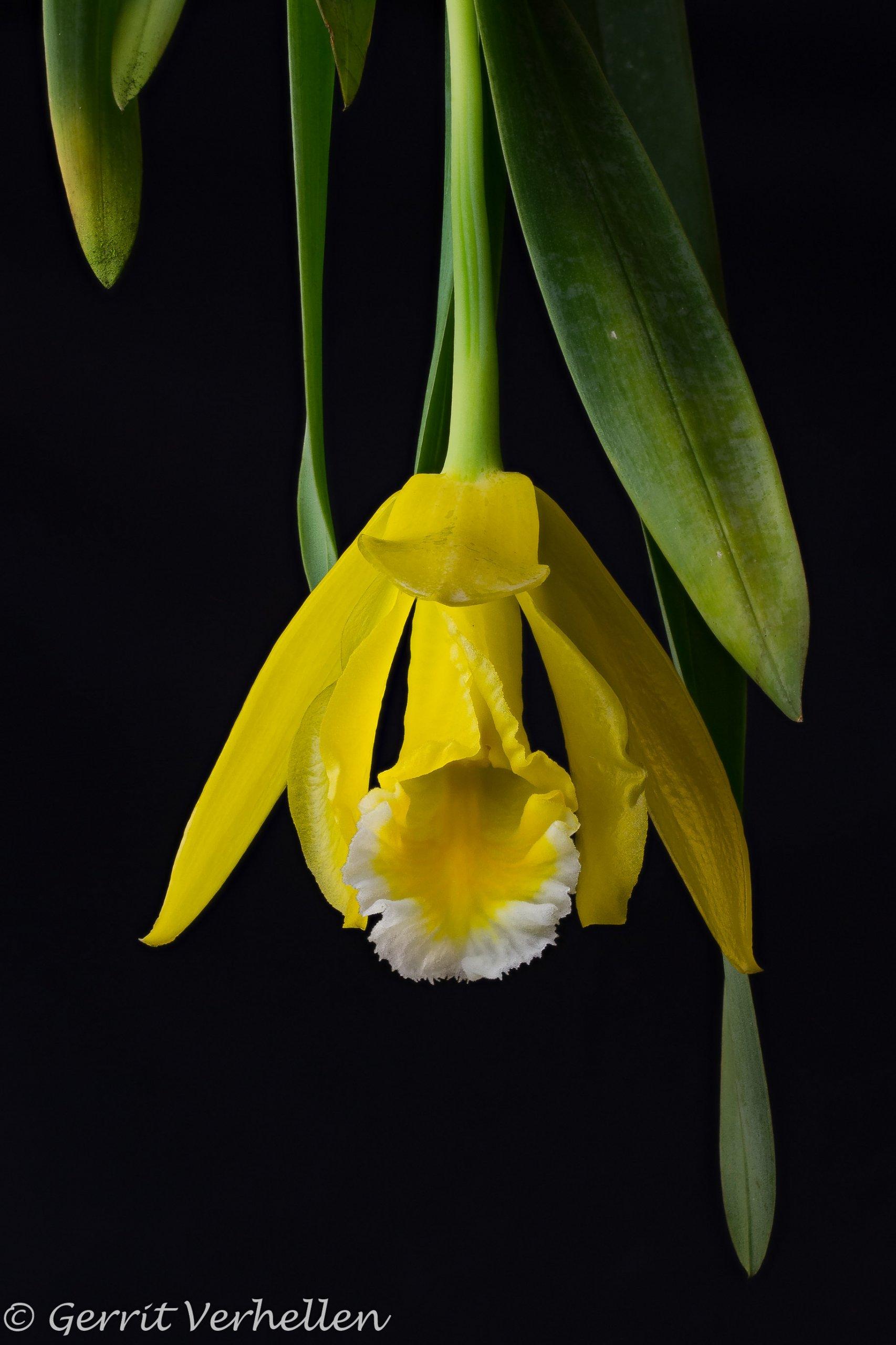 Prosthechea citrina -200325-.jpg