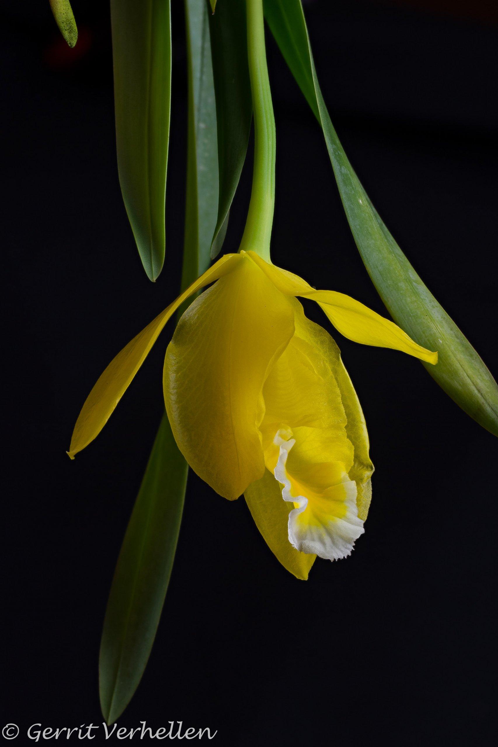 Prosthechea citrina -200325--3.jpg