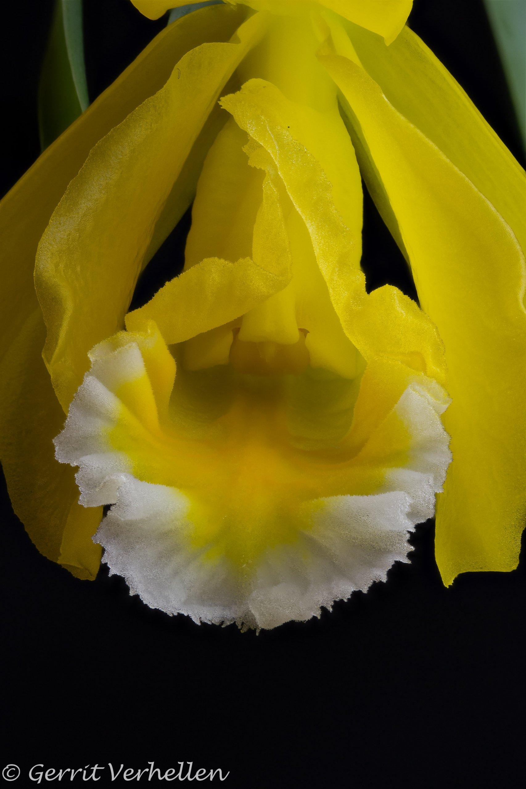 Prosthechea citrina -200325--4.jpg