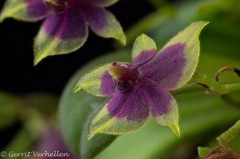 Platystele scopulifera-200404--11.jpg
