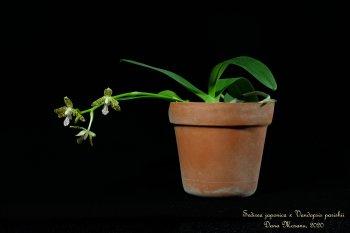 Sedirea japonica x Vandopsis parishii - 002 - 18.02.2020.JPG