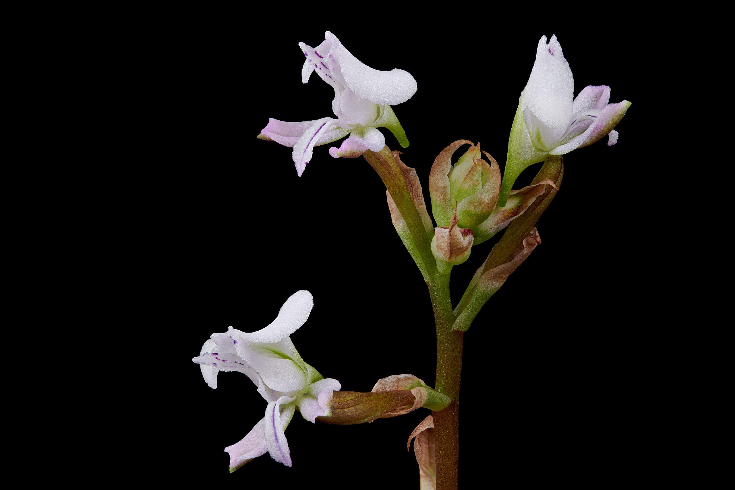 Disa sagittalis flowers.jpg