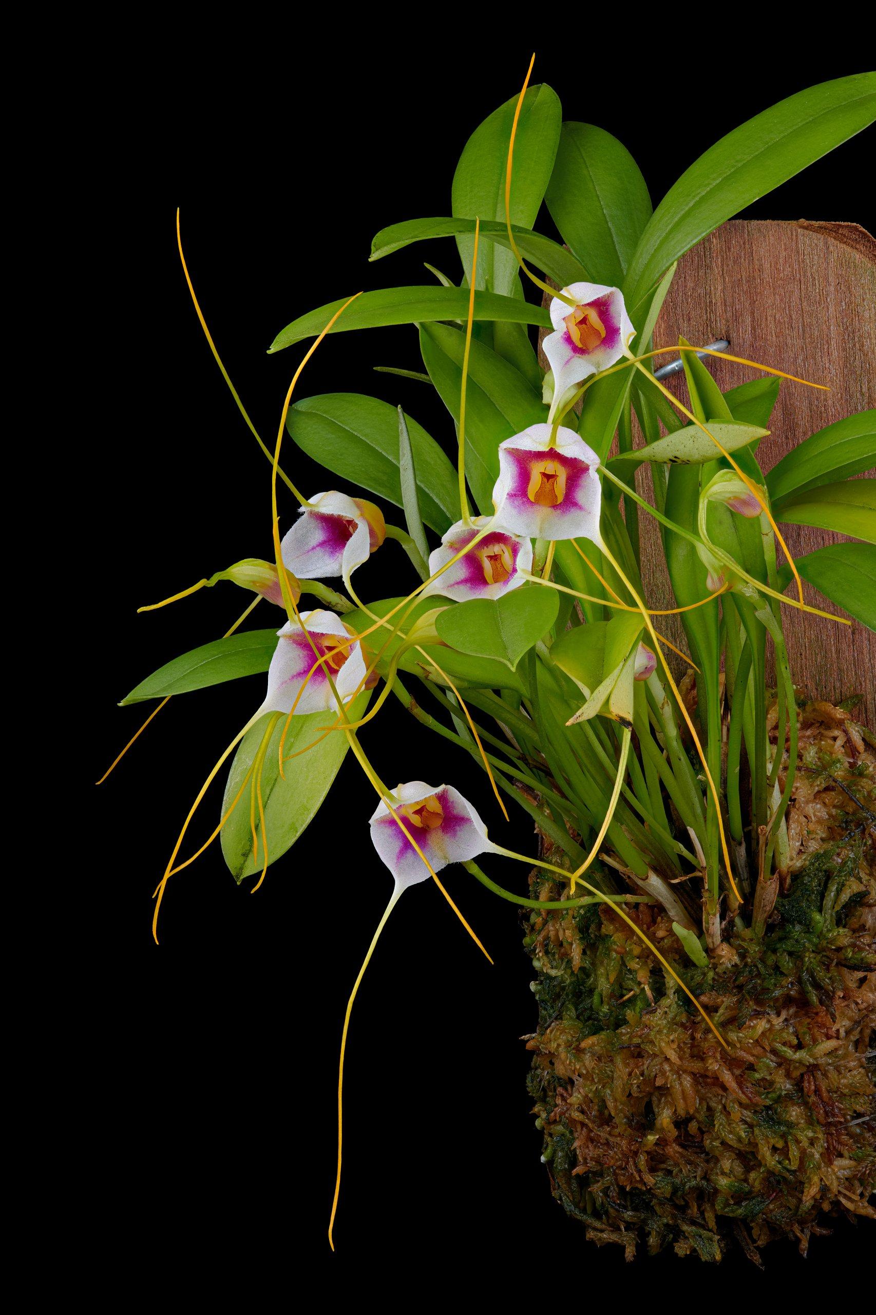 Masdevallia exquisita flowers_05.13.20.jpg